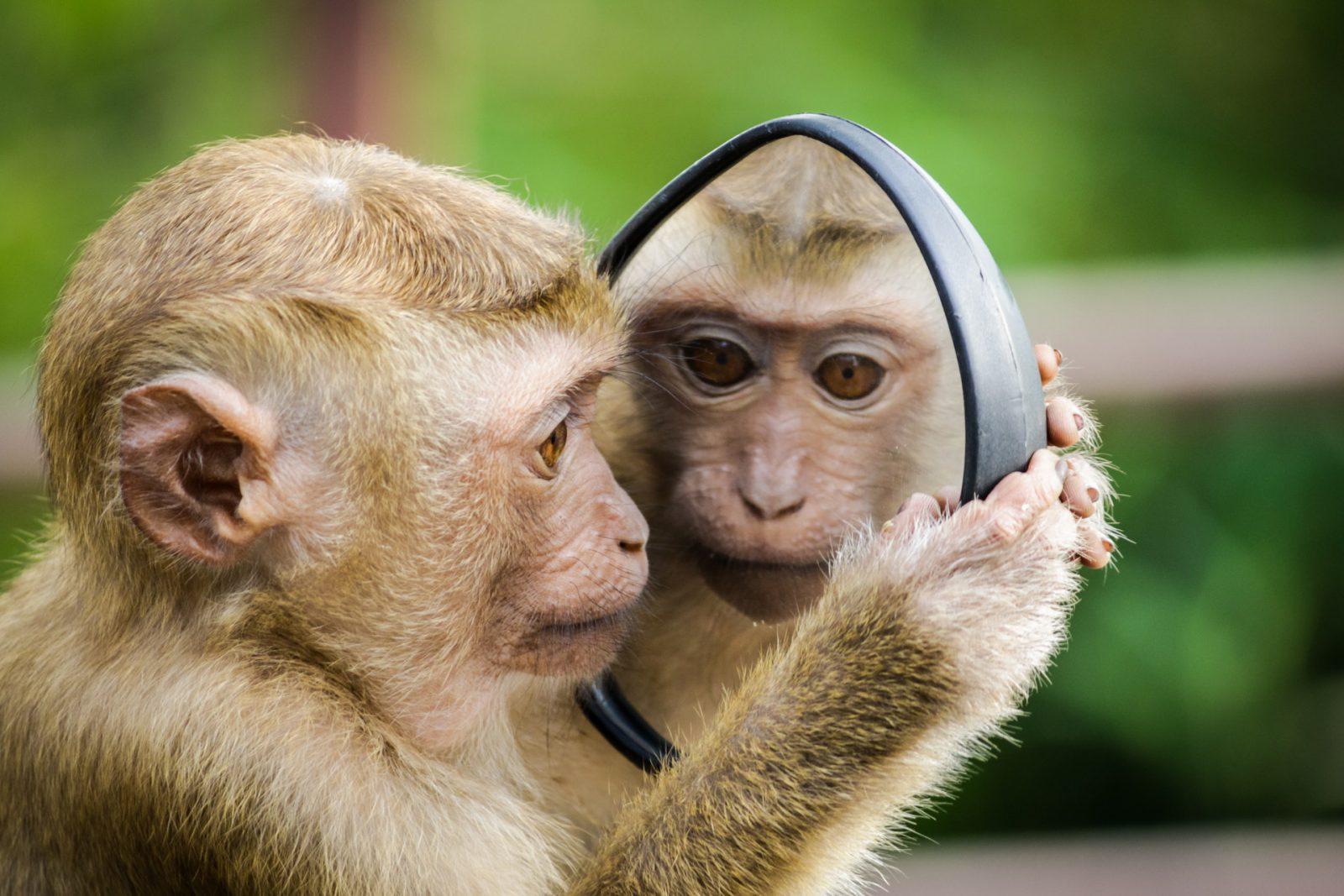 O macaco tem características e comportamento extraordinárias.