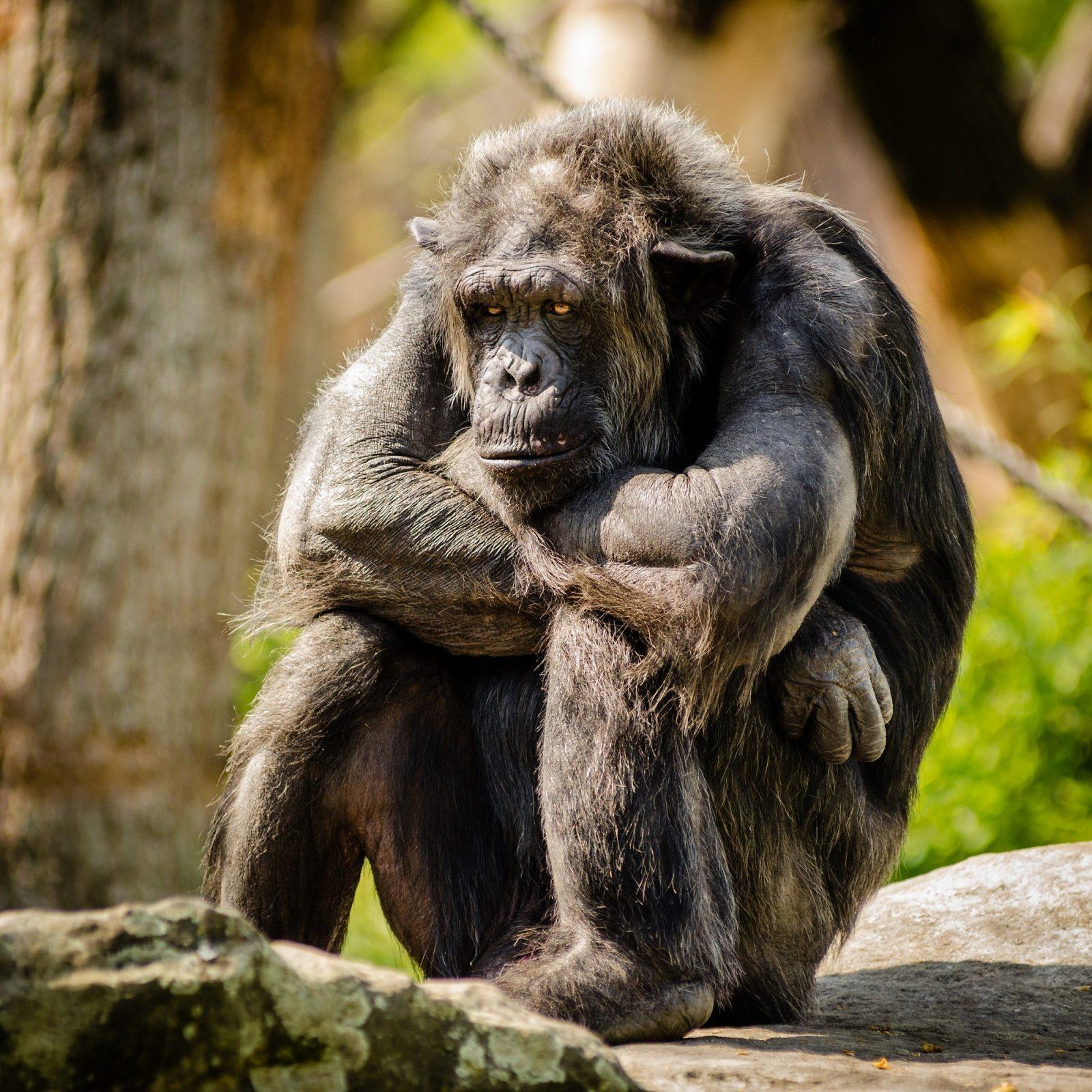 Você sabia que o gorila não é  um macaco, mas um primata.