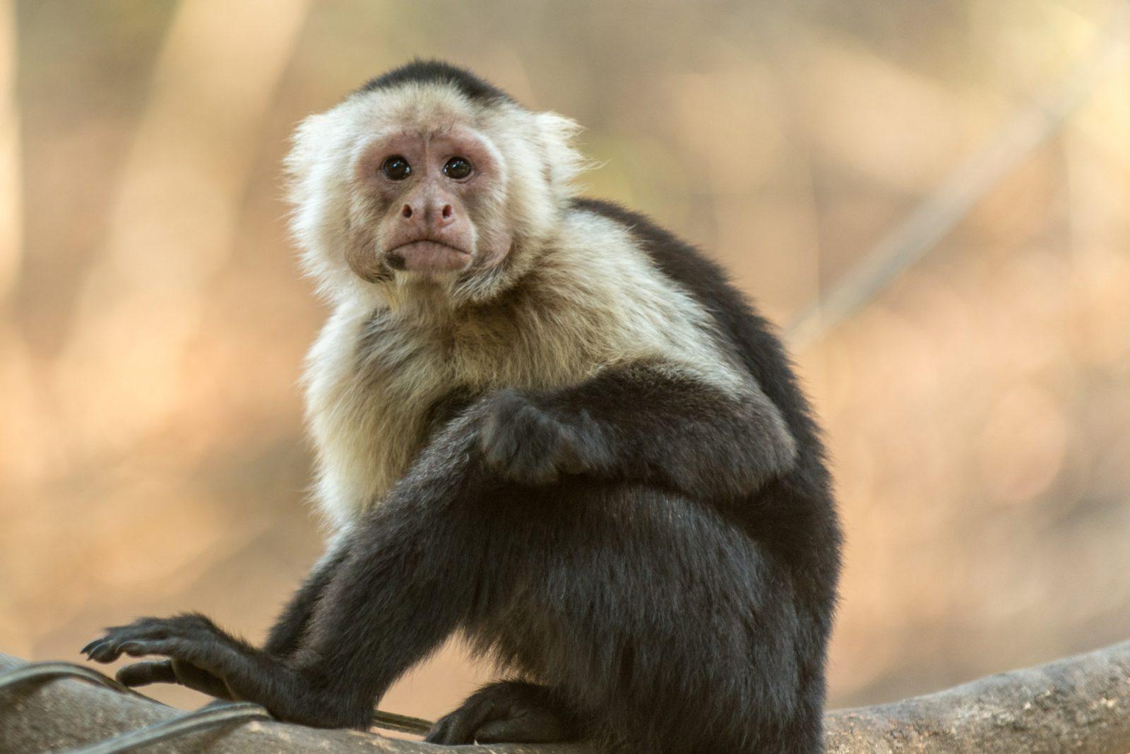 Macaco tem comportamento curioso e surpreendente.