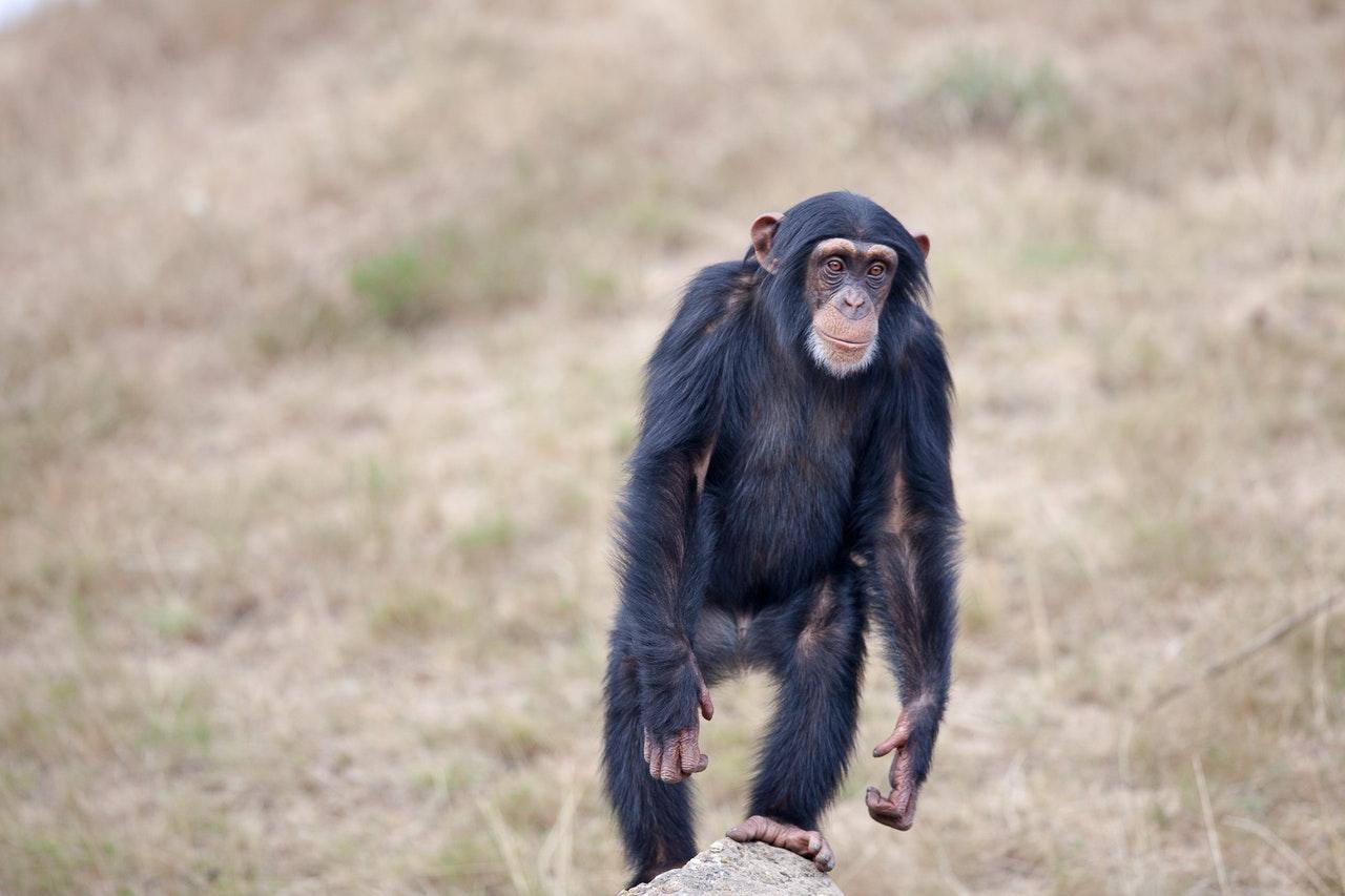 O macaco também pode ser portador de doenças.
