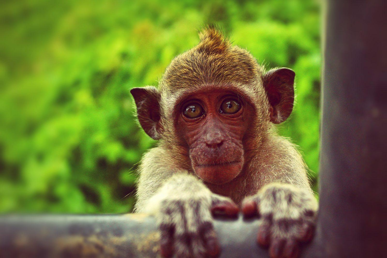 O macaco está em toda parte do Planeta.