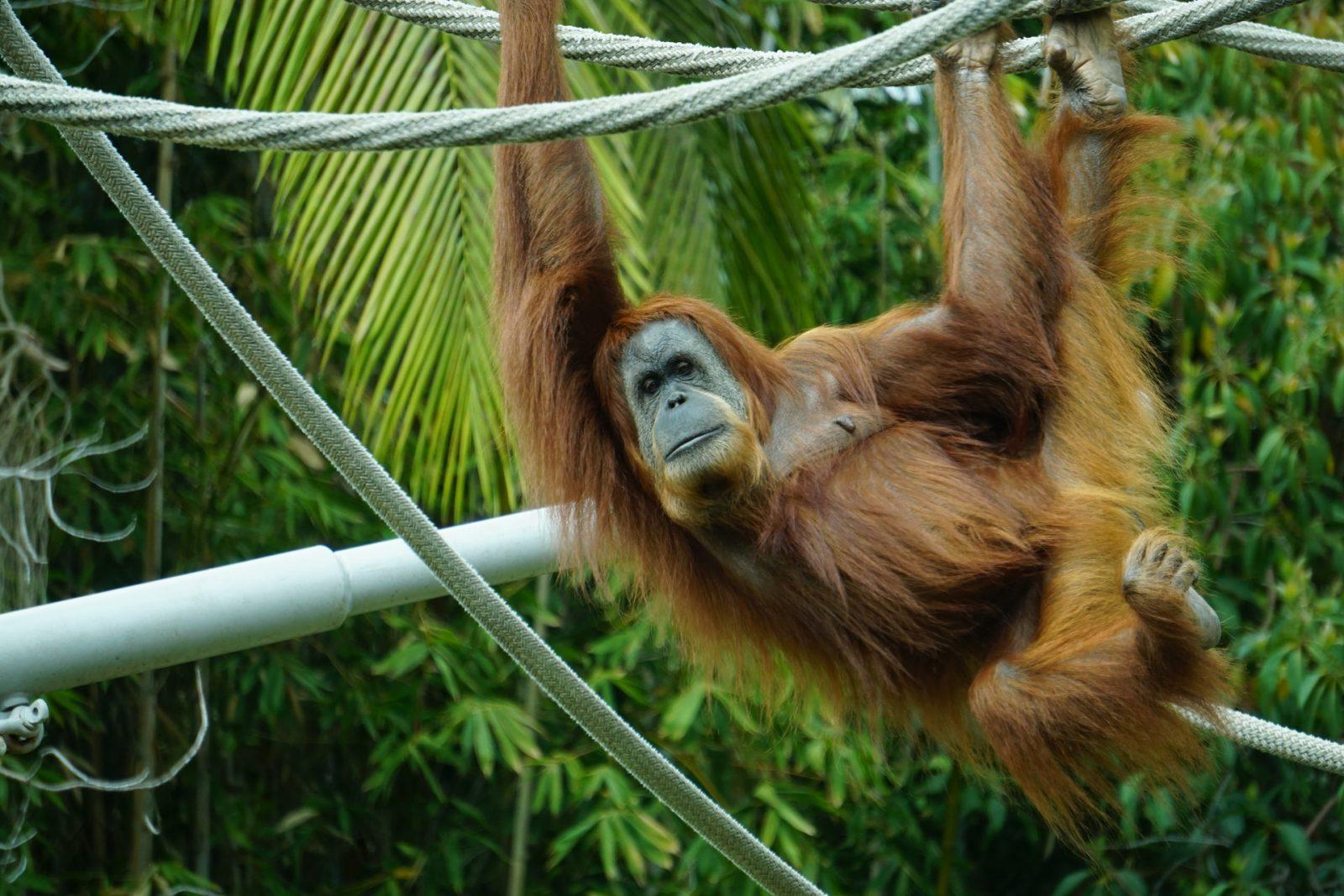 Há diversas espécies de macacos que se encaixam em muitas categorias.