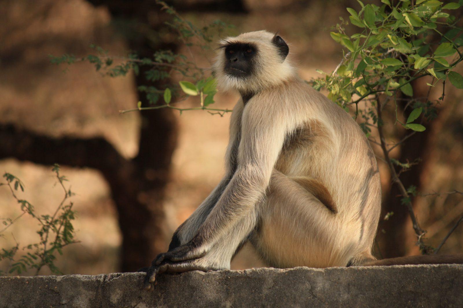 O macaco se reproduz de maneira sexuada.