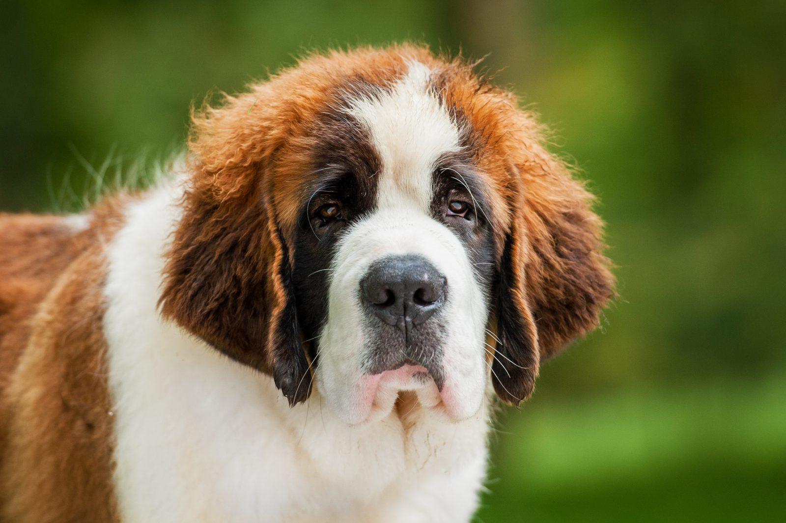 Maior cachorro do mundo: São Bernardo.