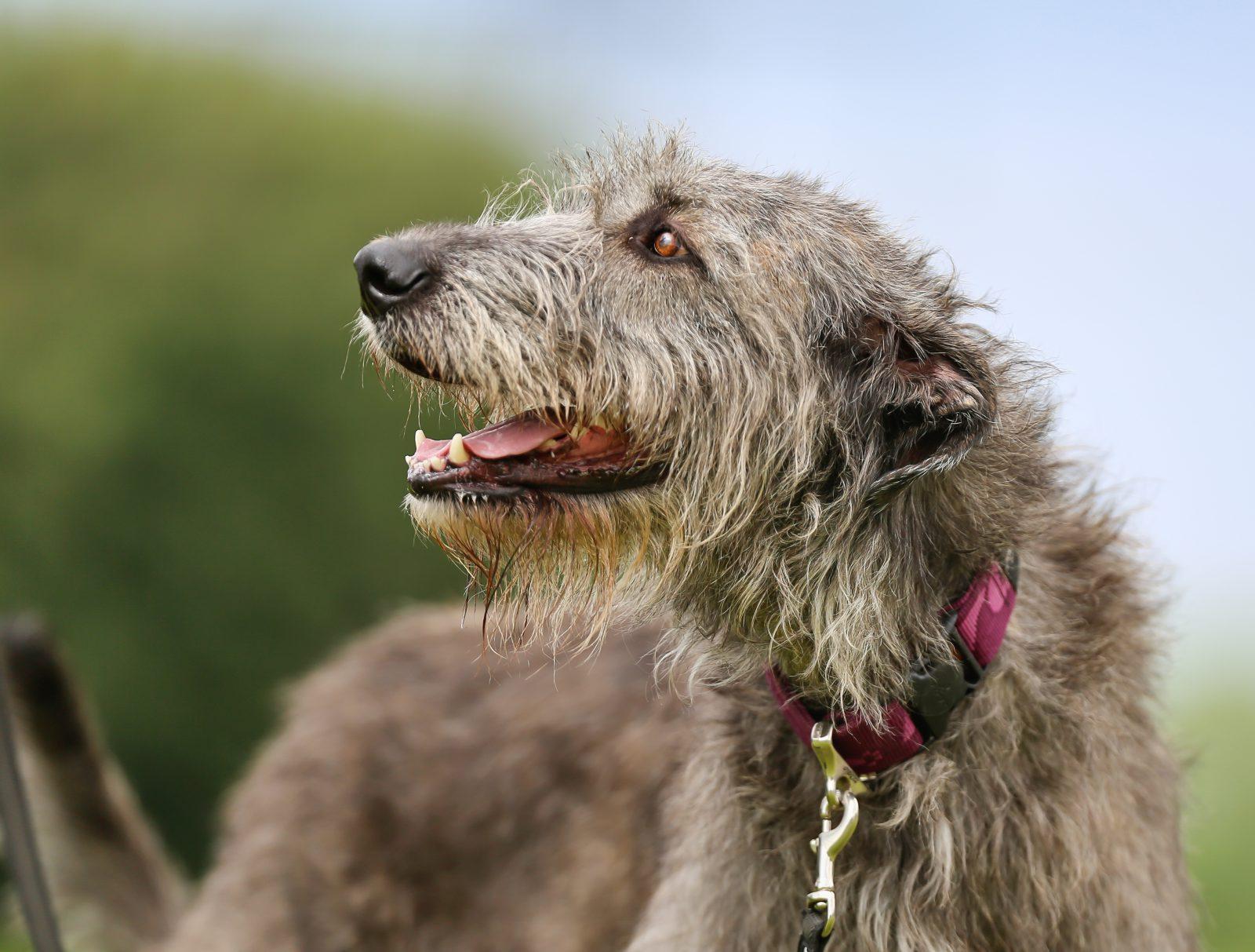 Maior cachorro do mundo: Wolfhound Irlandês.
