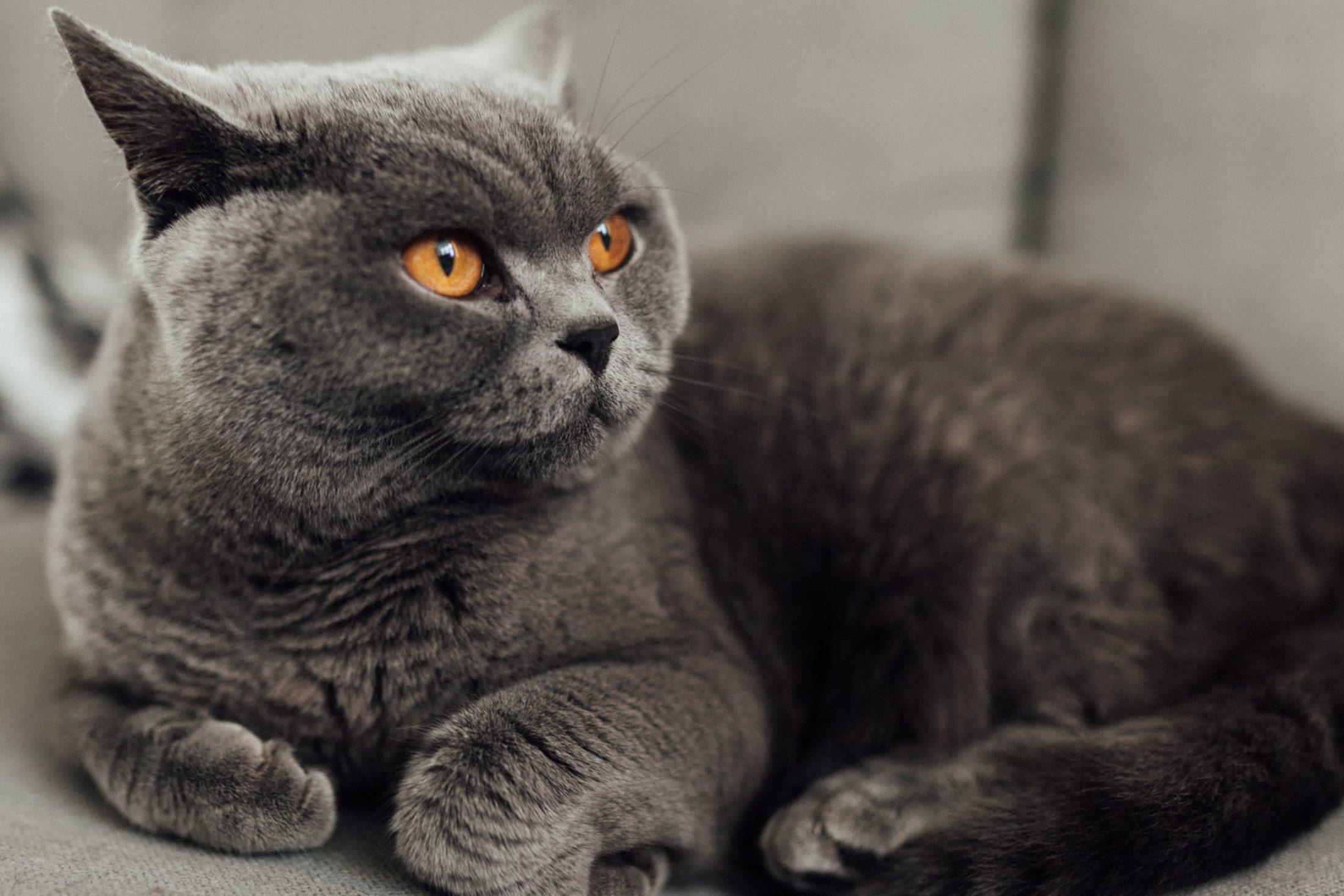 maiores racas de gatos - British Shorthair