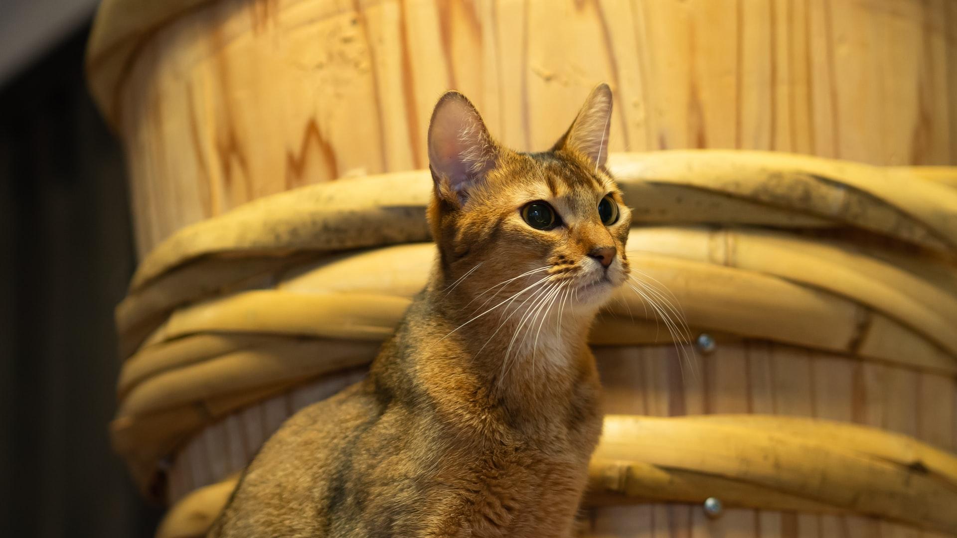 maiores racas de gatos - Chausie