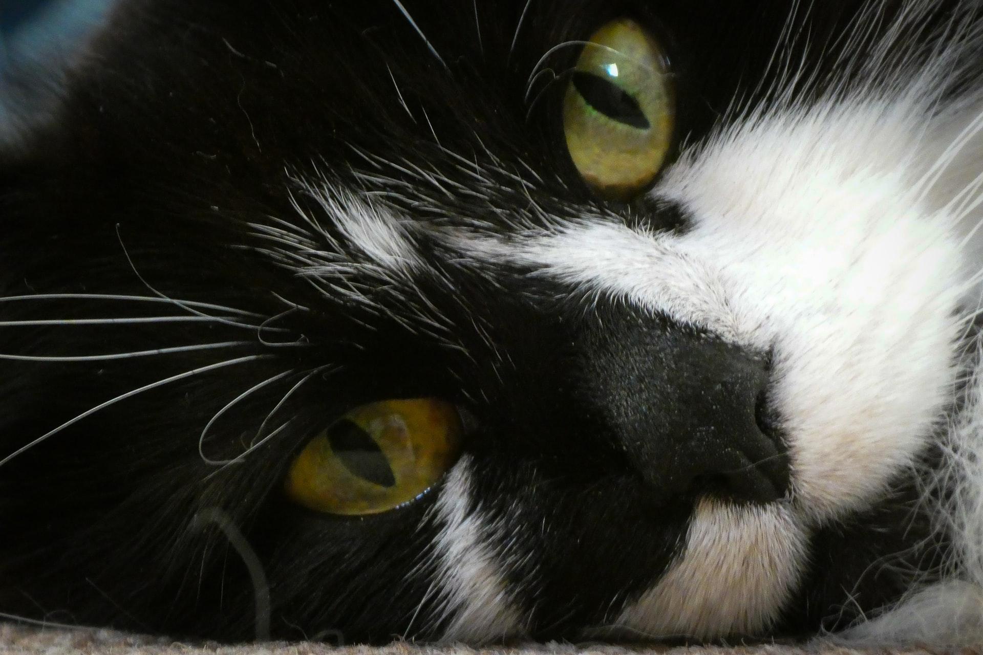 maiores racas de gatos - ragdoll