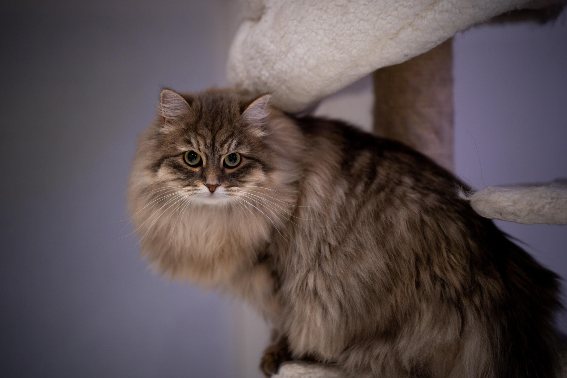 maiores racas de gatos - siberiano