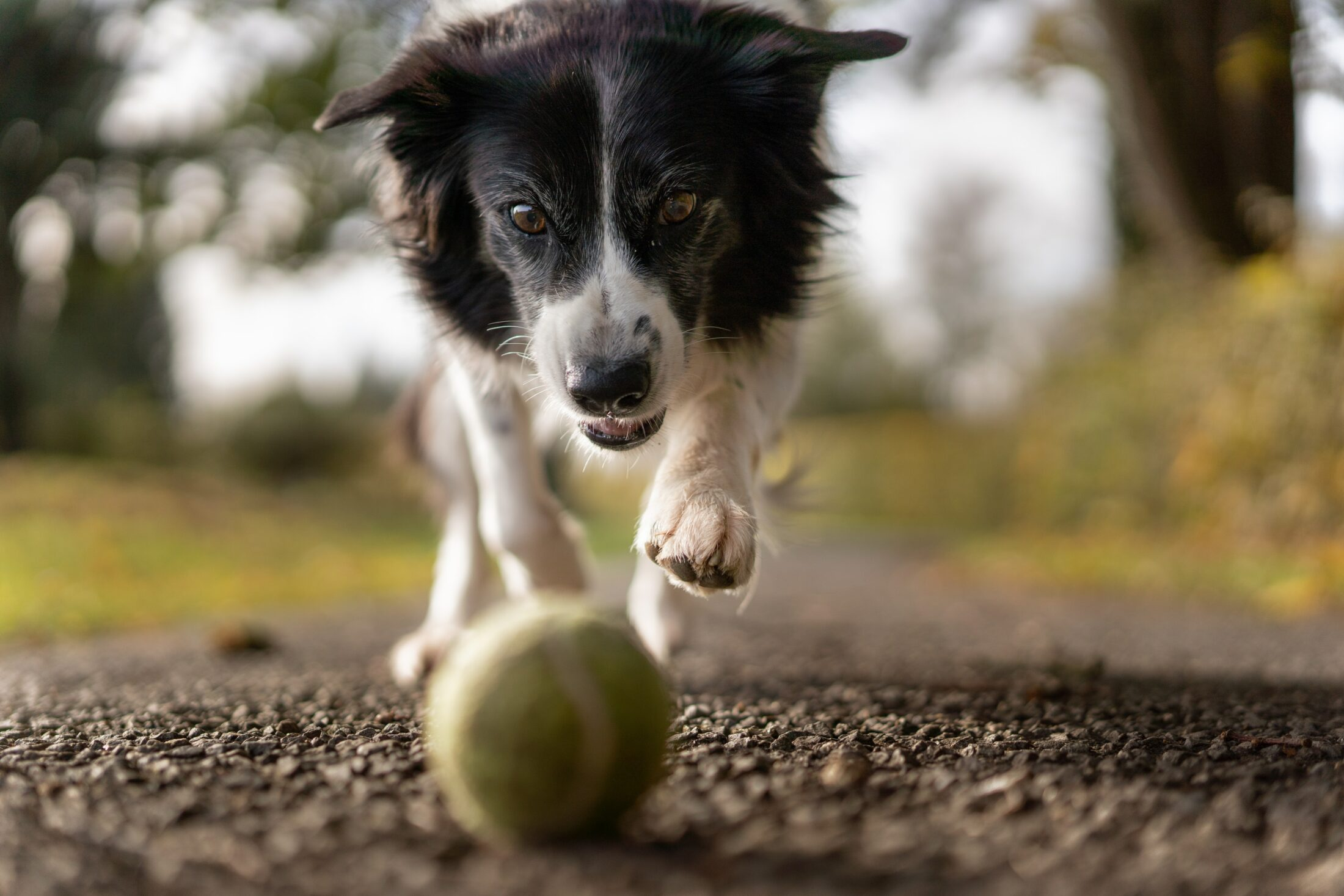 border collie correndoa trás de bola de tênis para espantar o mal humor