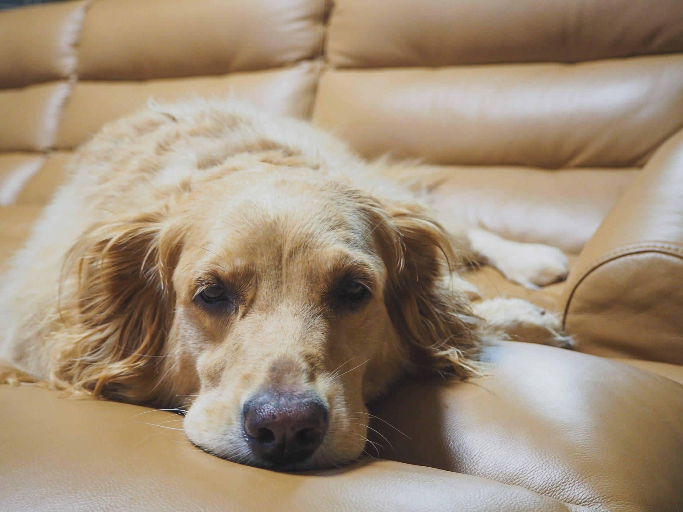 cachorro de mal humor deitado no sofá