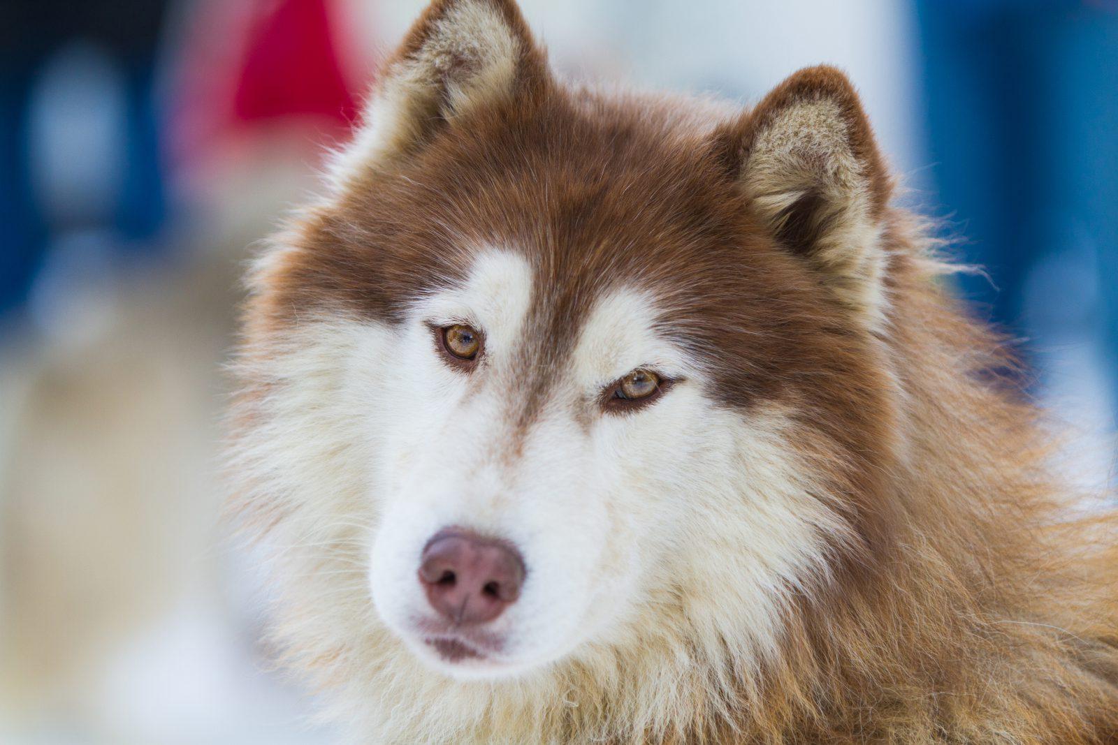 malamute-alasca-aparencia