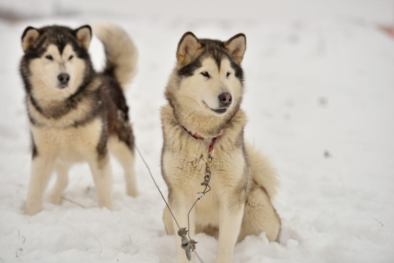 malamute-alasca-origem