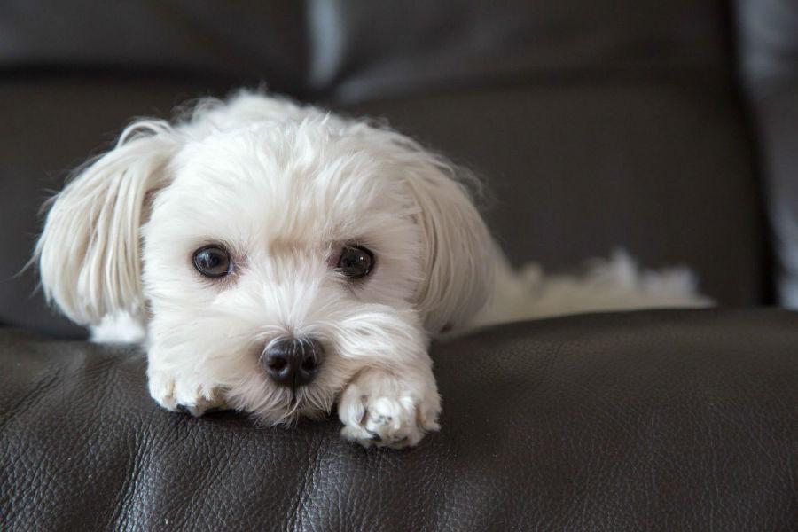 Cachorro pequeno: Filhote de Maltês no sofá.