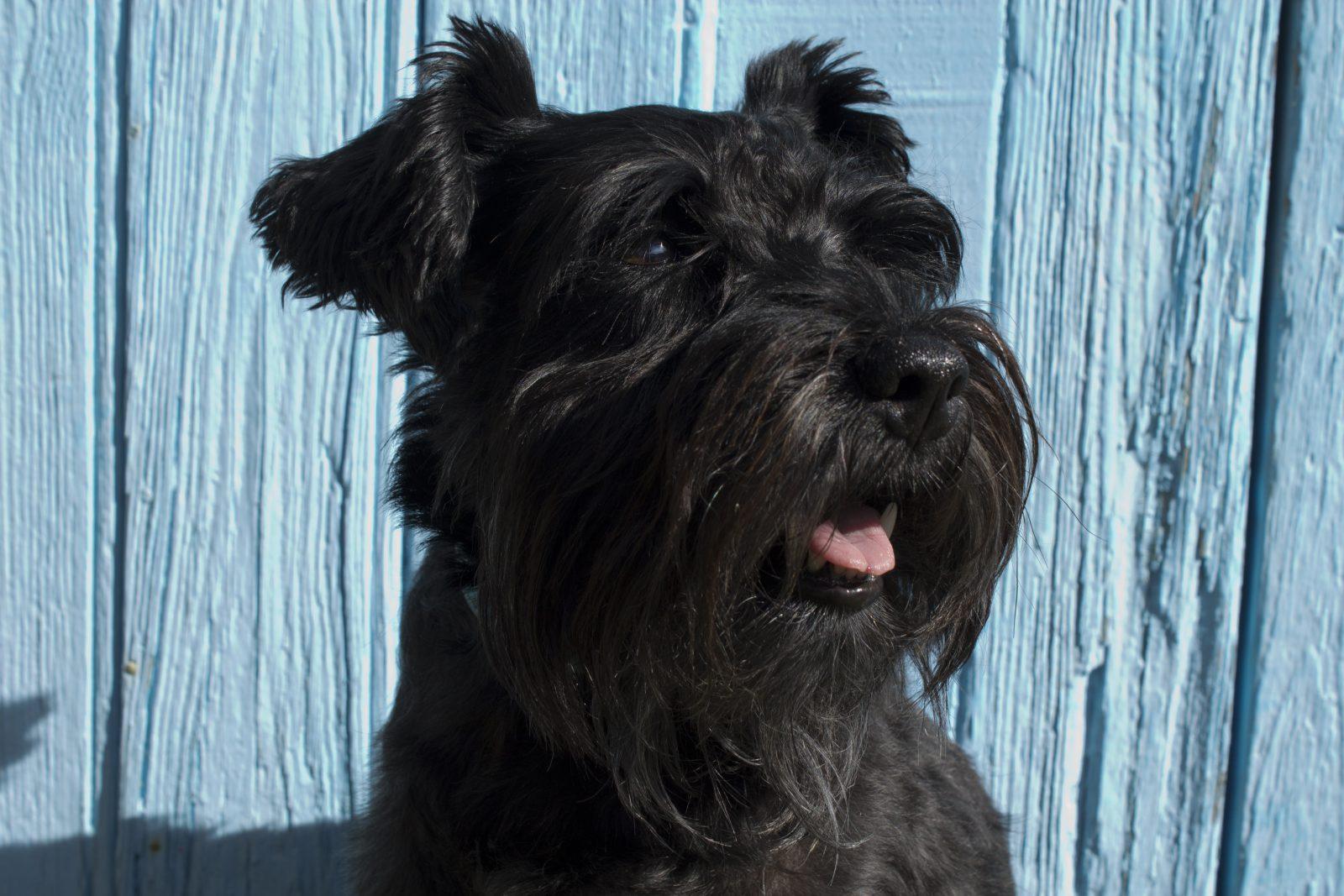 máquina de tosar cachorro: schnauser com tosa típica da raça