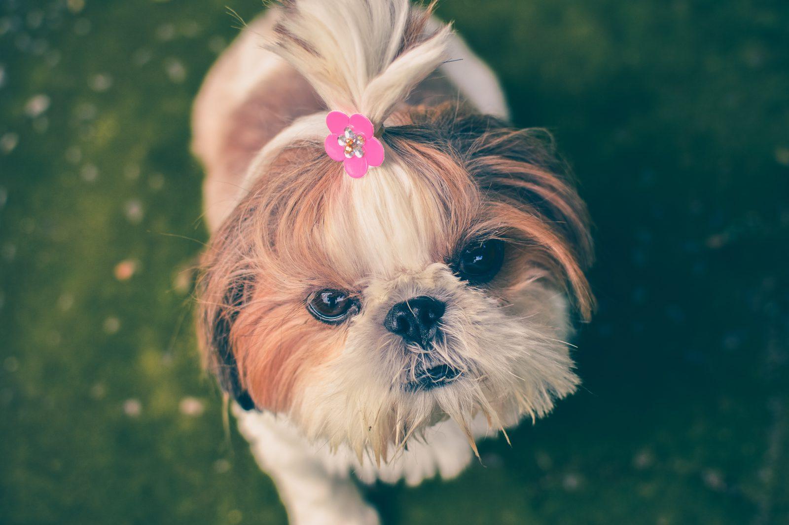 Máquina de tosar cachorro: Shih Tzu rec[em saída do petshop toda arrumada com chuquinha de florzinha na cabeça