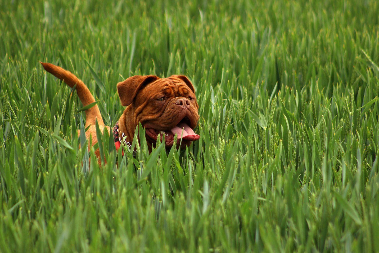 Existem questões genéticas relacionadas aos cachorros que babam.