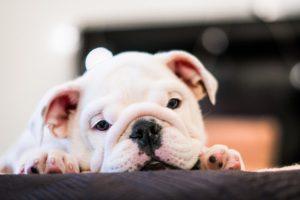 o que é mastite em cães