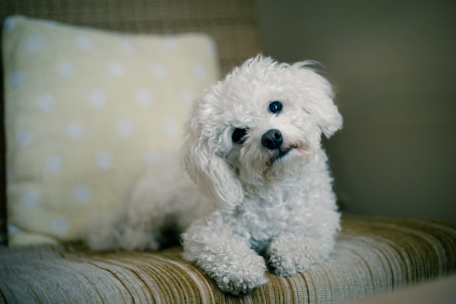 Cachorros pequenos: maltês em cima do sofá mostrando toda a sua fofura e meiguice.