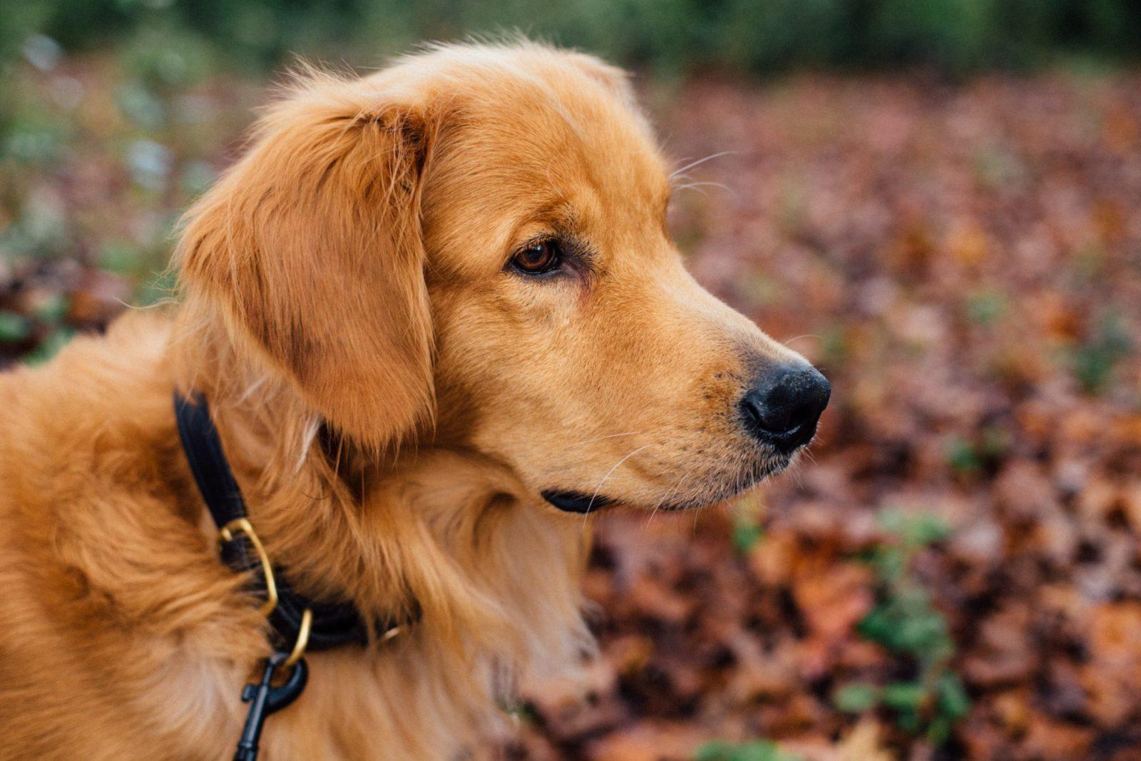 golden retriever com a melhor coleira para cachorro