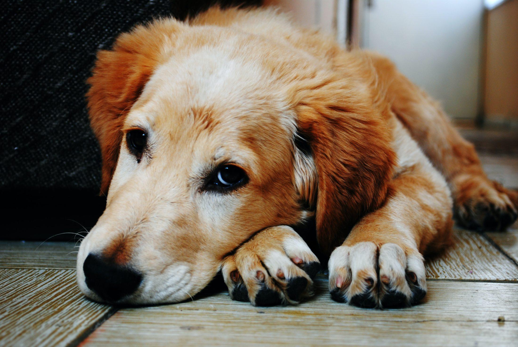 Escolher a melhor ração para cachorro idoso é ainda mais específico - cachorro idoso deitado