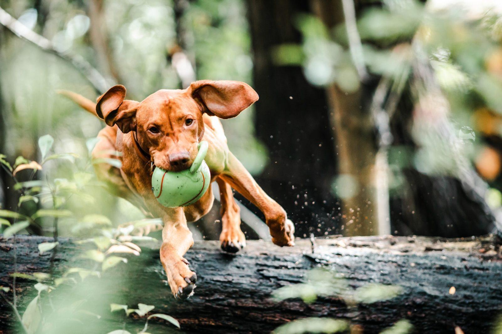 cachorro correndo na floresta com bola de brinquedo na boca