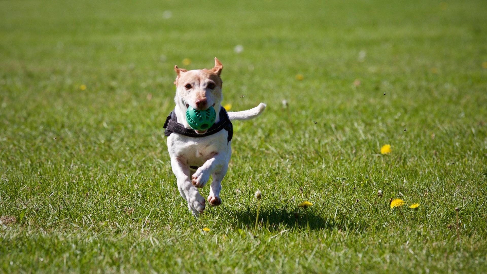 a bola comedouro é um dos melhores brinquedos para cachorro hiperativo