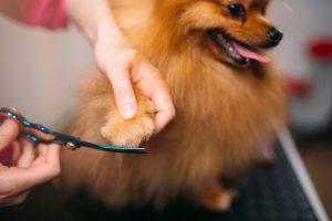 Mercado pet: Lulu da Pomerânia cortando suas unhas no Petshop