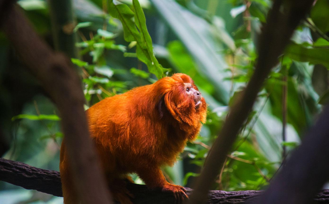 O mico leão dourado é um dos animais em extinção no Brasil.