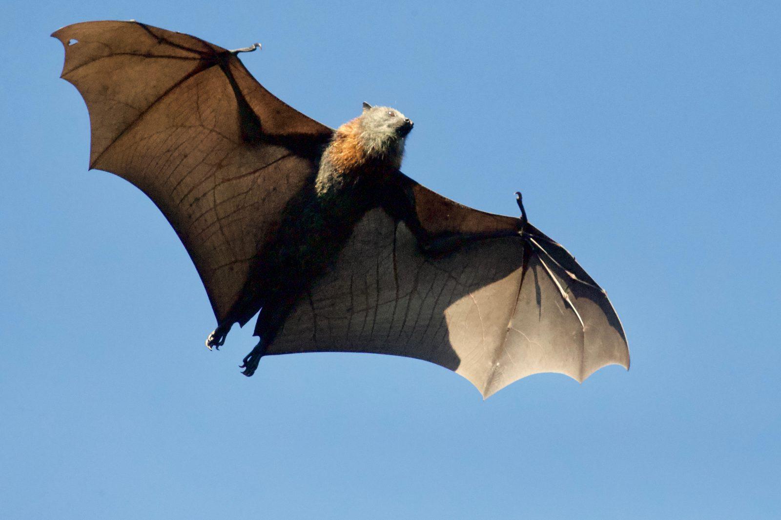Os morcegos são animais mamíferos que voam.