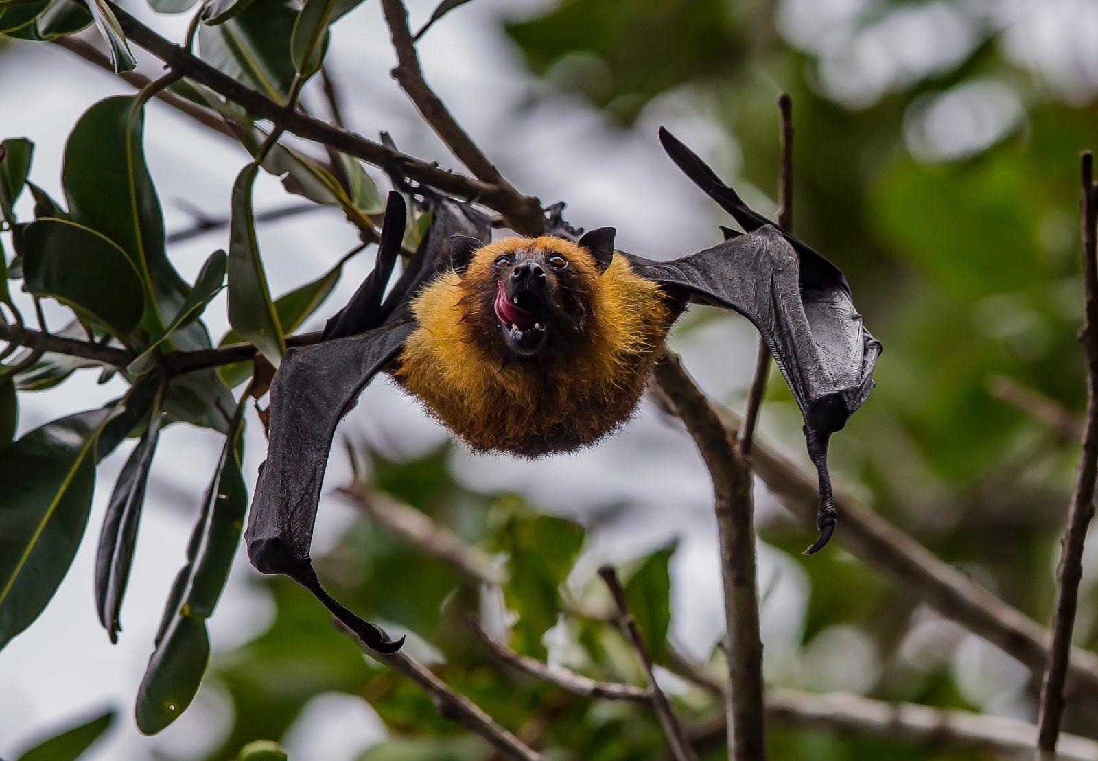 Não se sabe muito sobre a ancestralidade dos morcegos devido a sua fragilidade óssea.