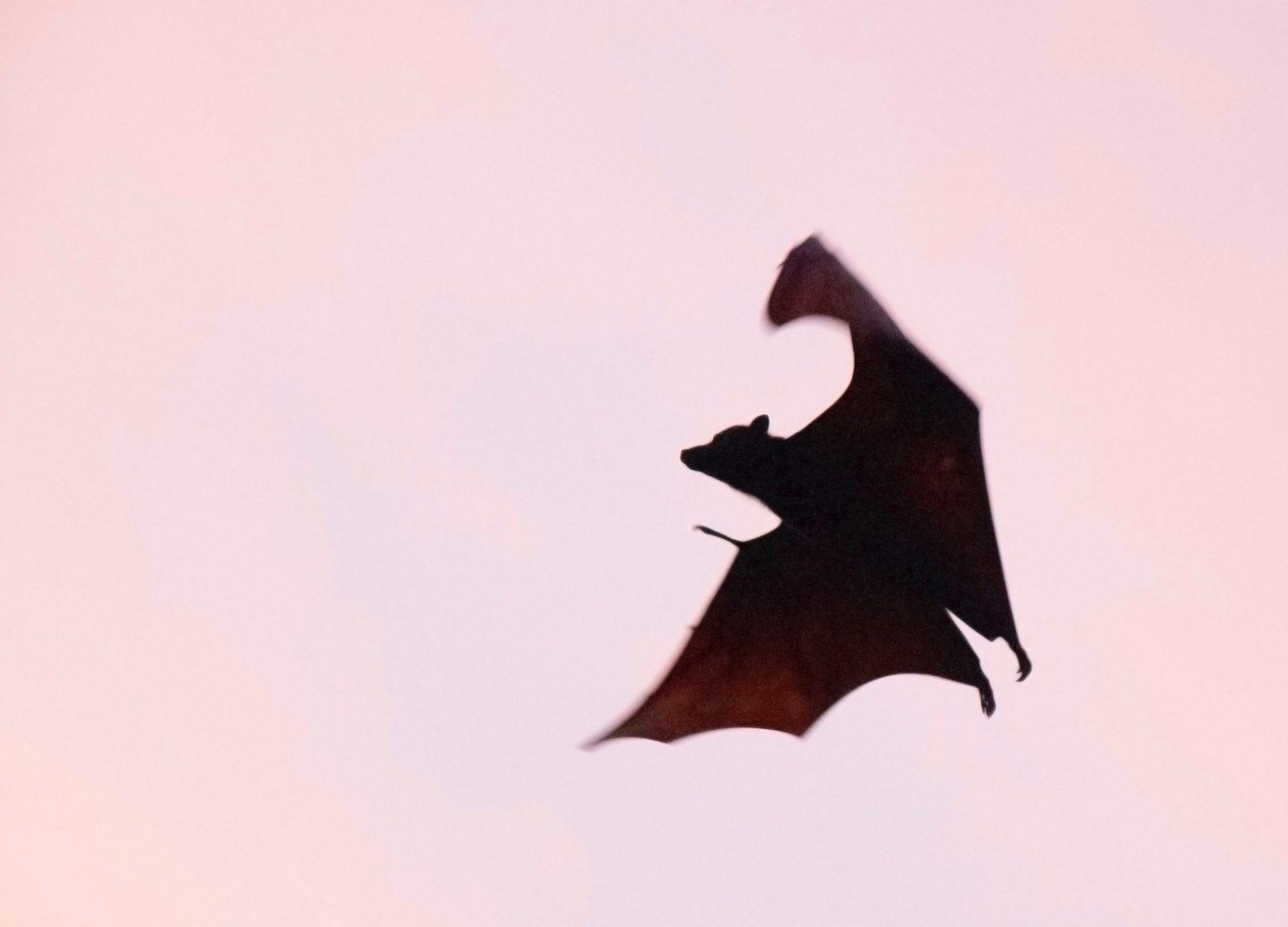 Os morcegos são os únicos mamíferos voadores.