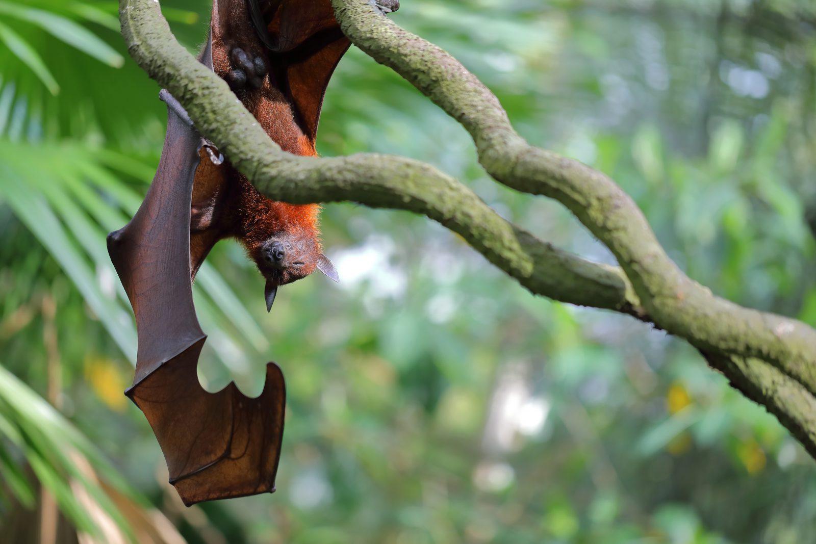 Os morcegos são importante para a agricultura, pois se alimenta de pragas.