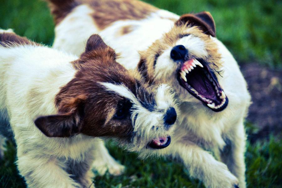 Atividades físicas para cães: Terriers brigando um com o outro.