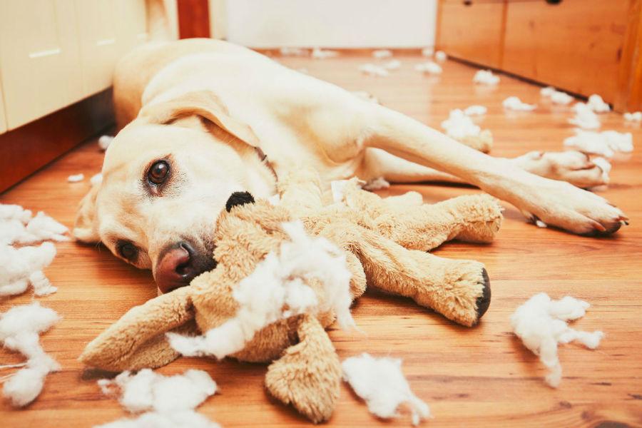 Atividades físicas para cães: Labrador retriever pego no ato destruindo tudo dentro de casa