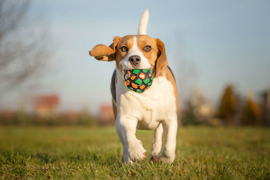Atividades físicas para cães: Beagle super ativo brincando de bola no parque
