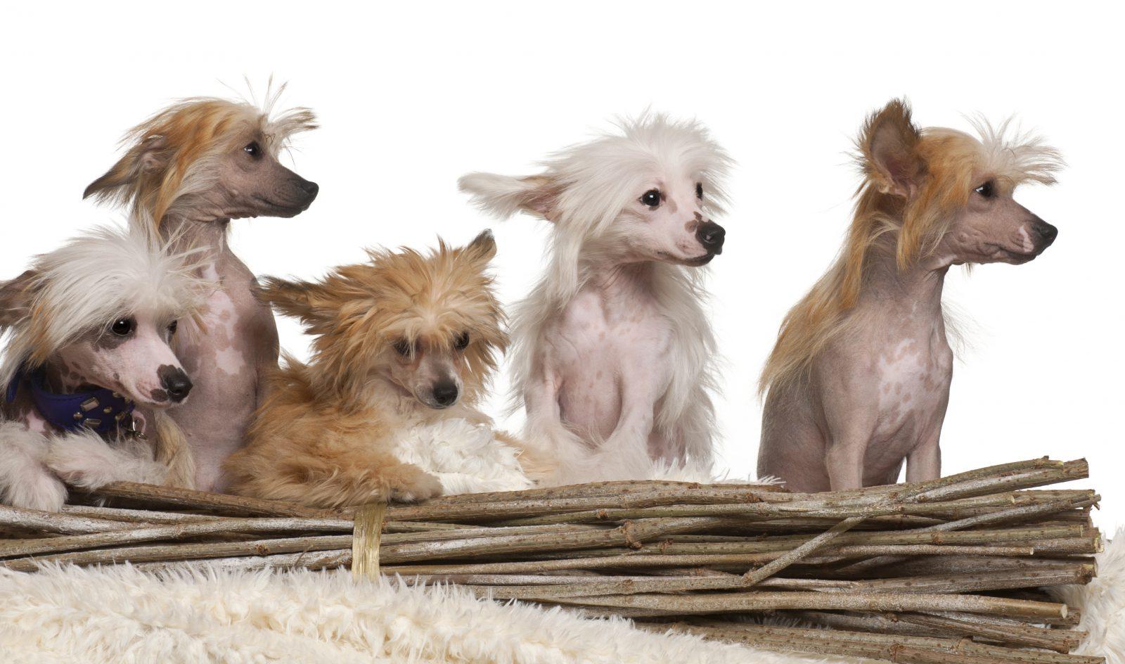 Nomes de cachorro: grupo de filhotes de Cão de Crista Chinesa