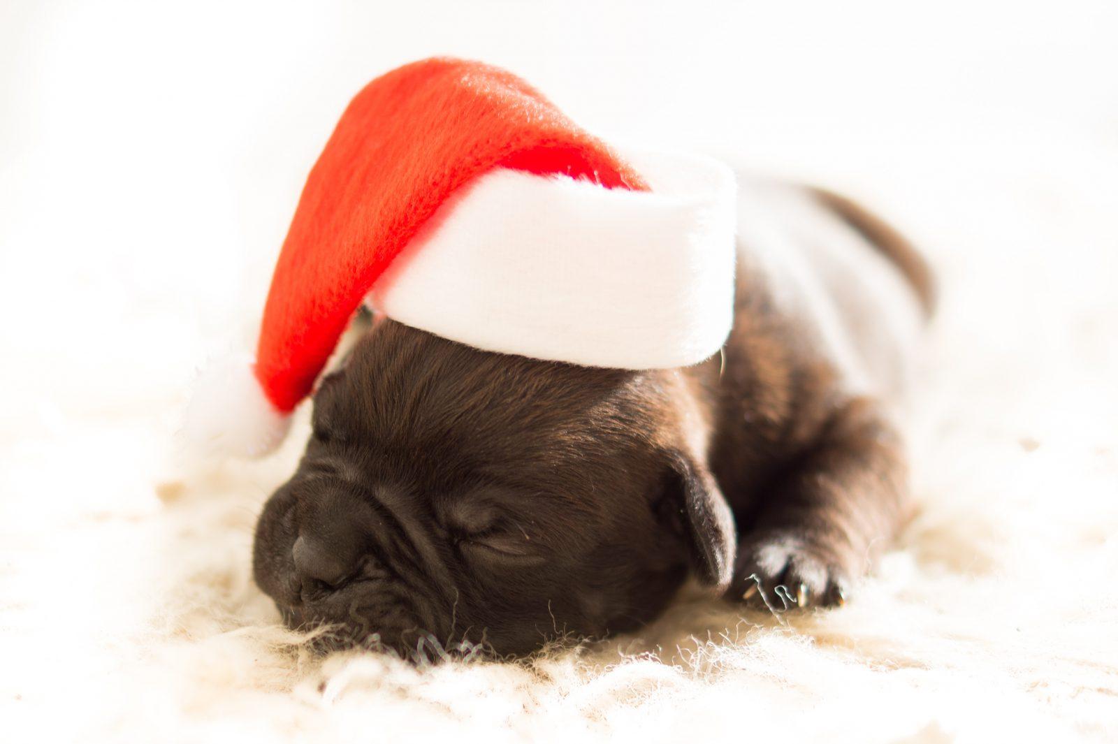 Nomes de cachorros famosos: filhote de buldogue francês tigrado dormindo com uma toca de papai noel
