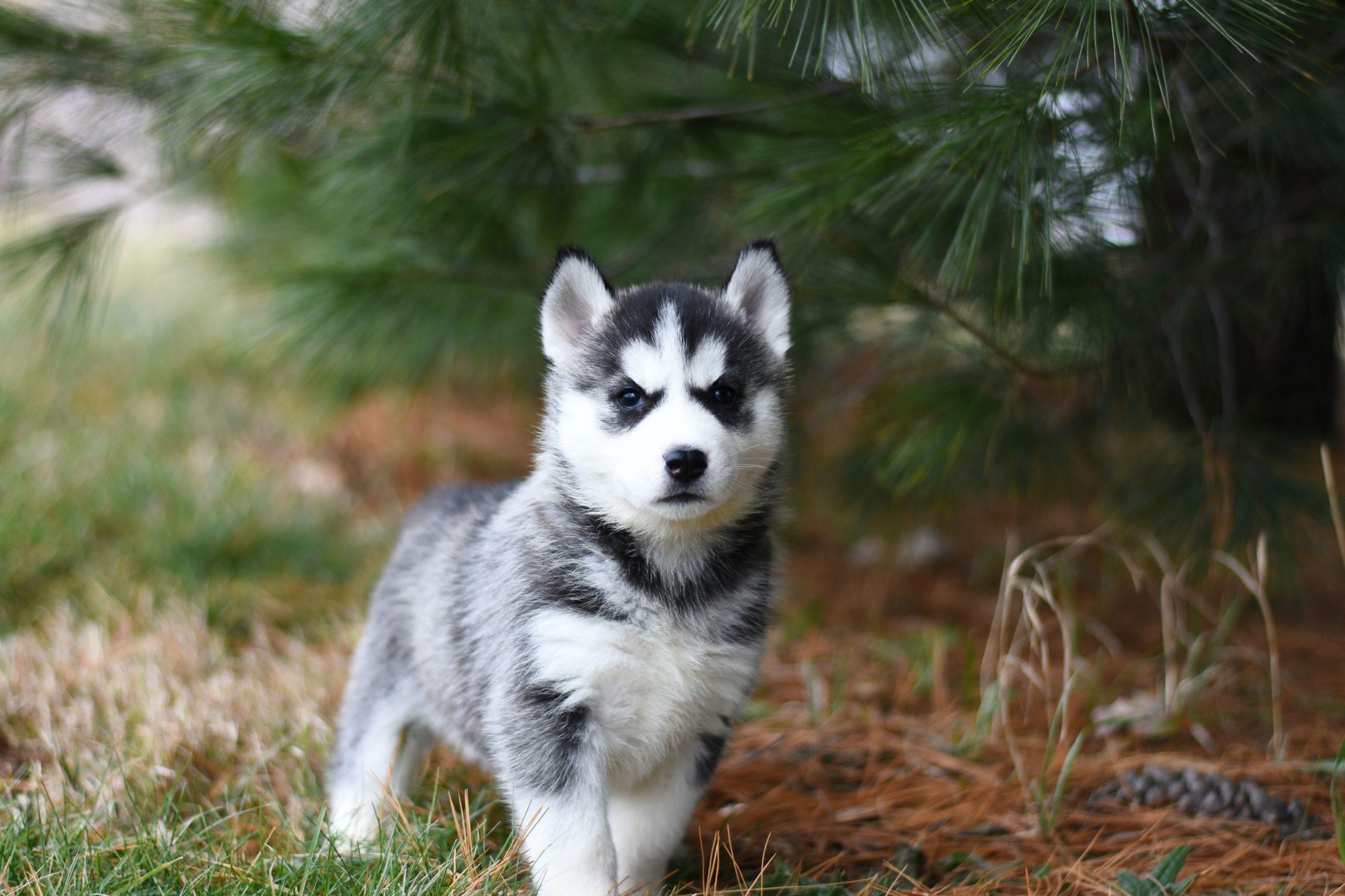 novo filhote de husky