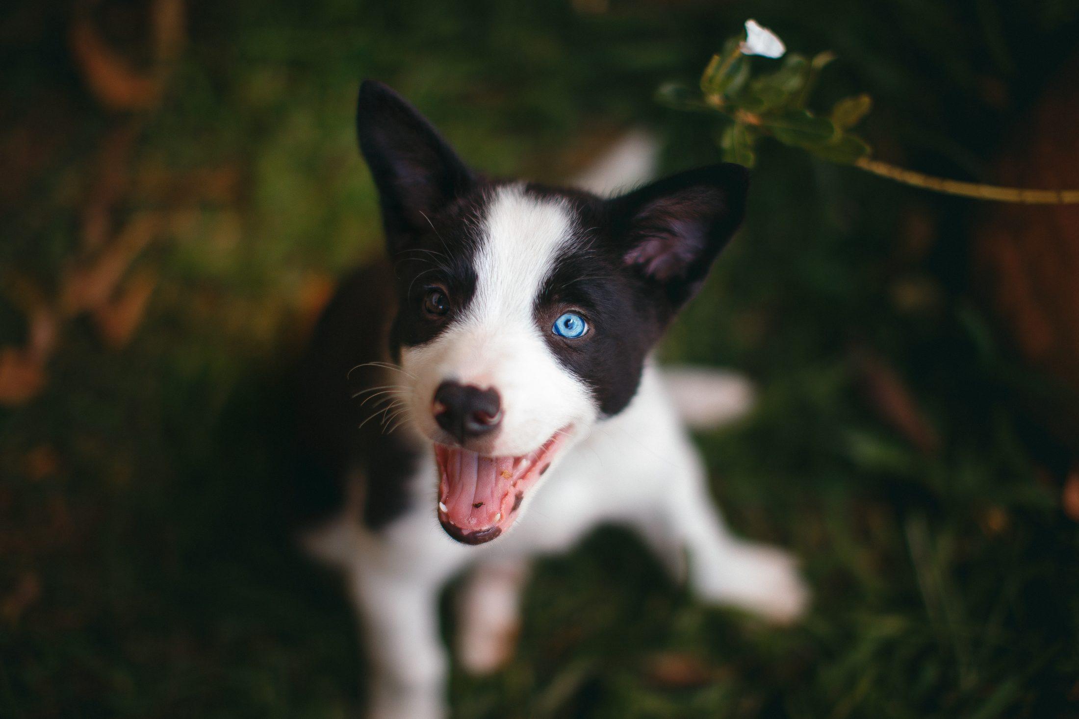 filhote de cachorro branco e preto de olhos claros