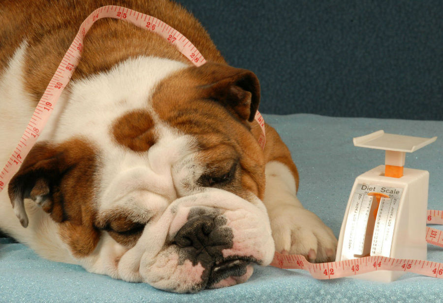 obesidade-canina-hormonios