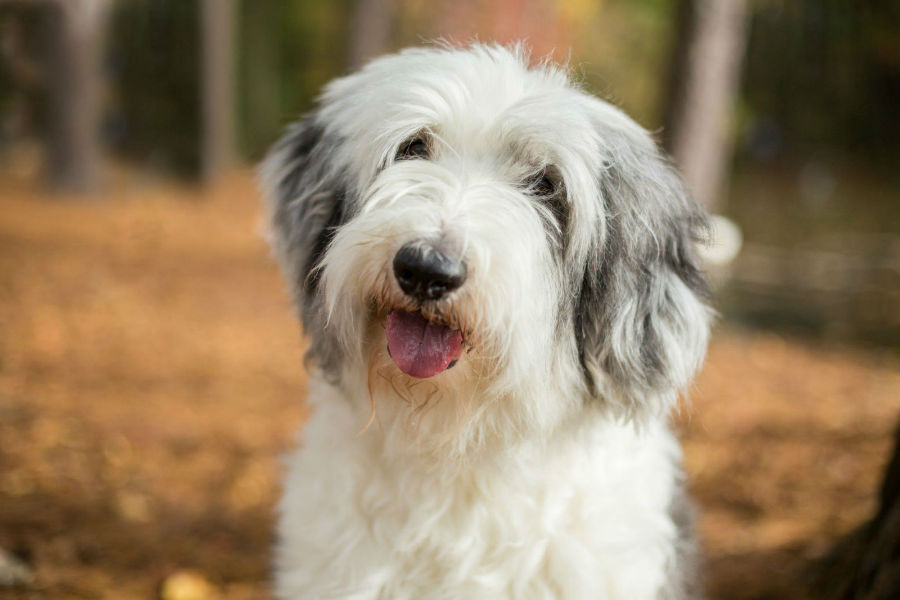 old-english-sheepdog-ambiente