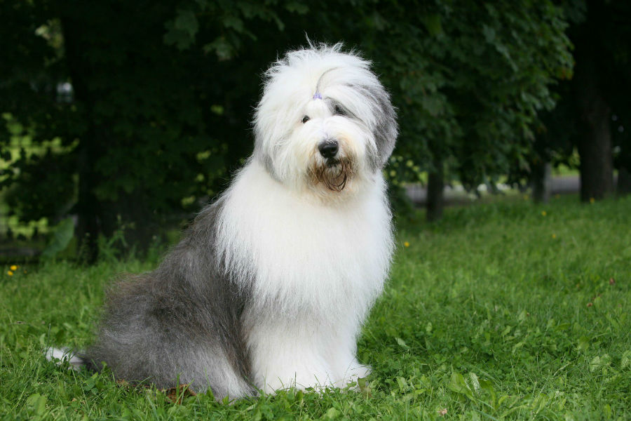 old-english-sheepdog-temperamento