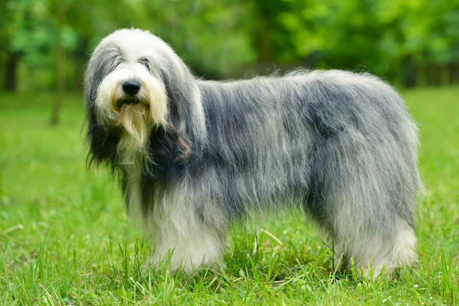 old-english-sheepdog-treinamento