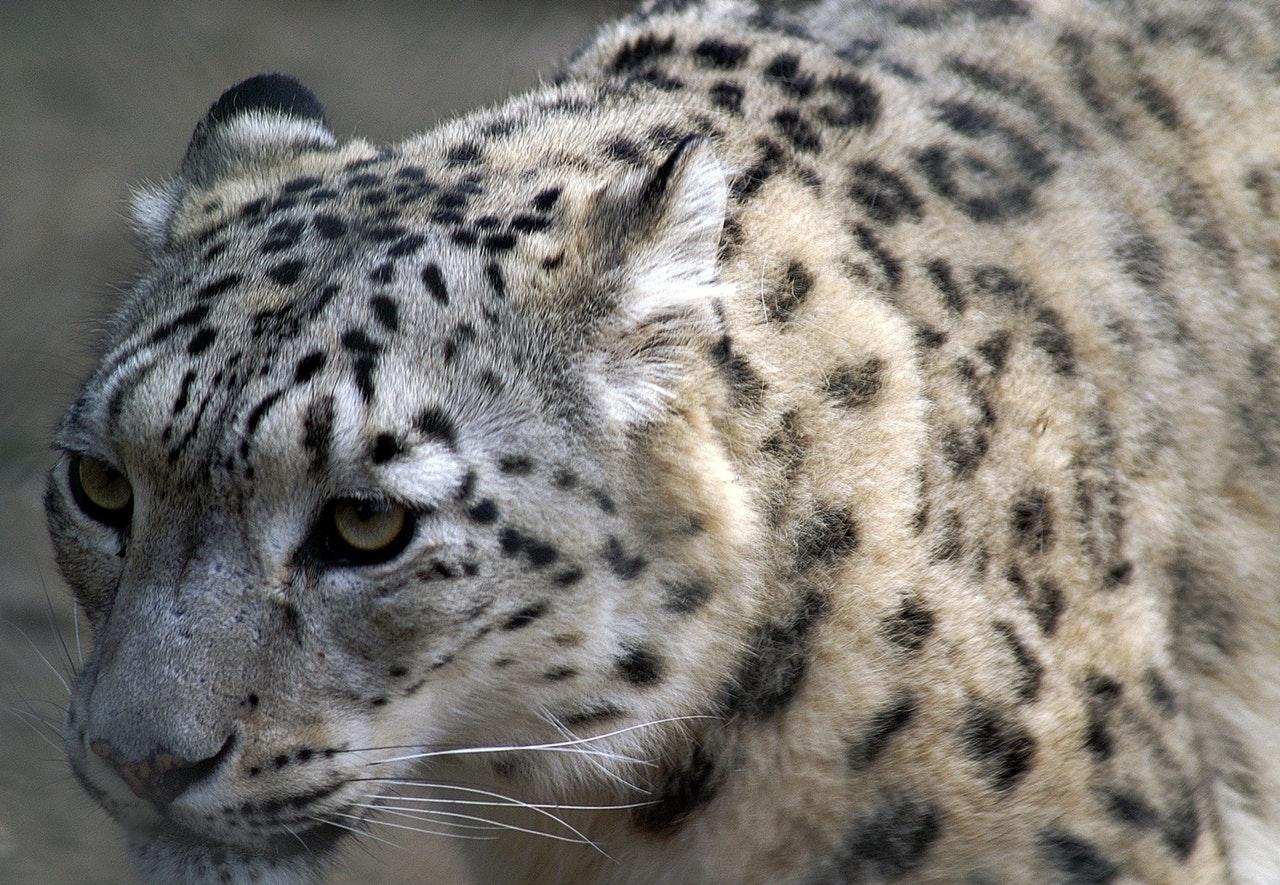 A onça pintada é um animal crepuscular e solitário.