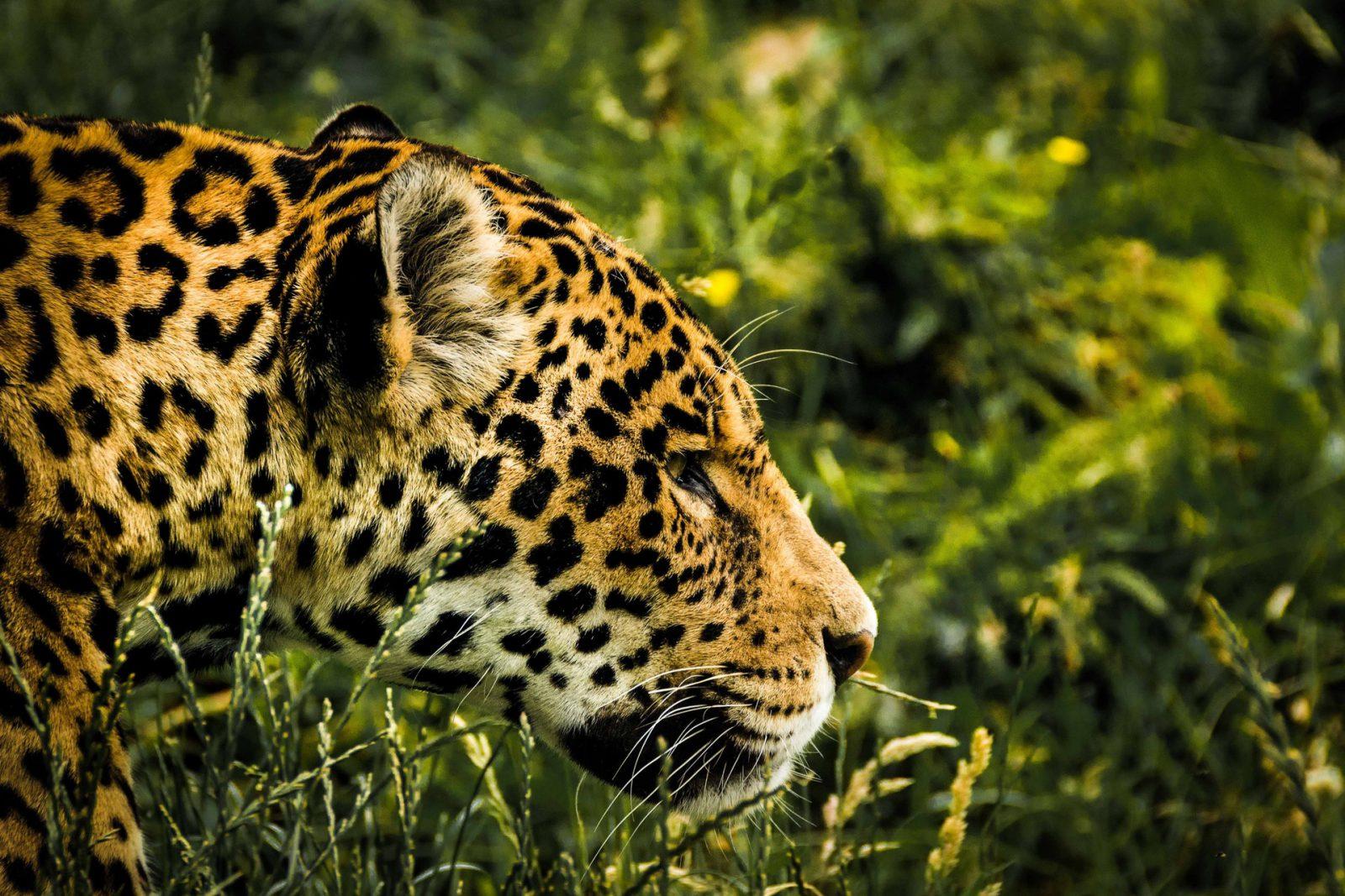 A onça pintada é muito comum no Pantanal e Floresta Amazônica.