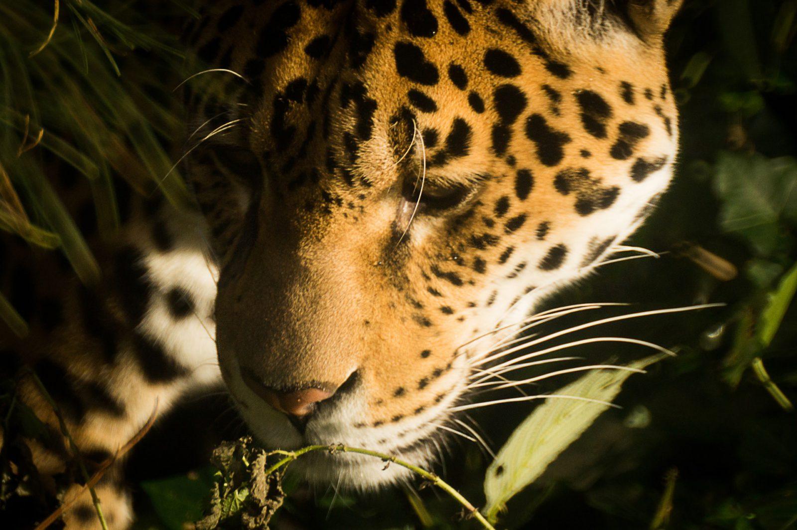A onça pintada é um mamífero carnívoro.