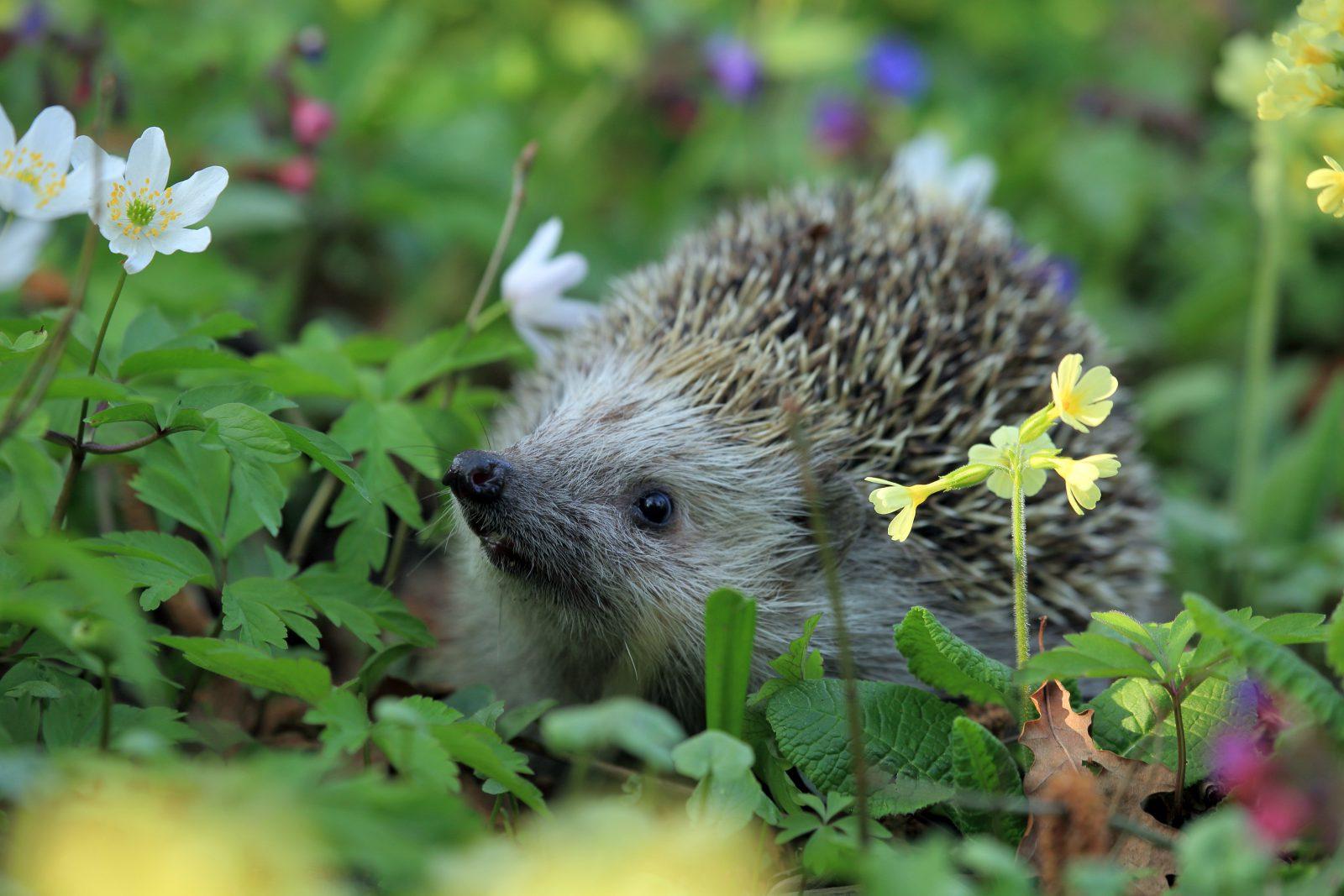 O ouriço se alimenta de folhas e flores.