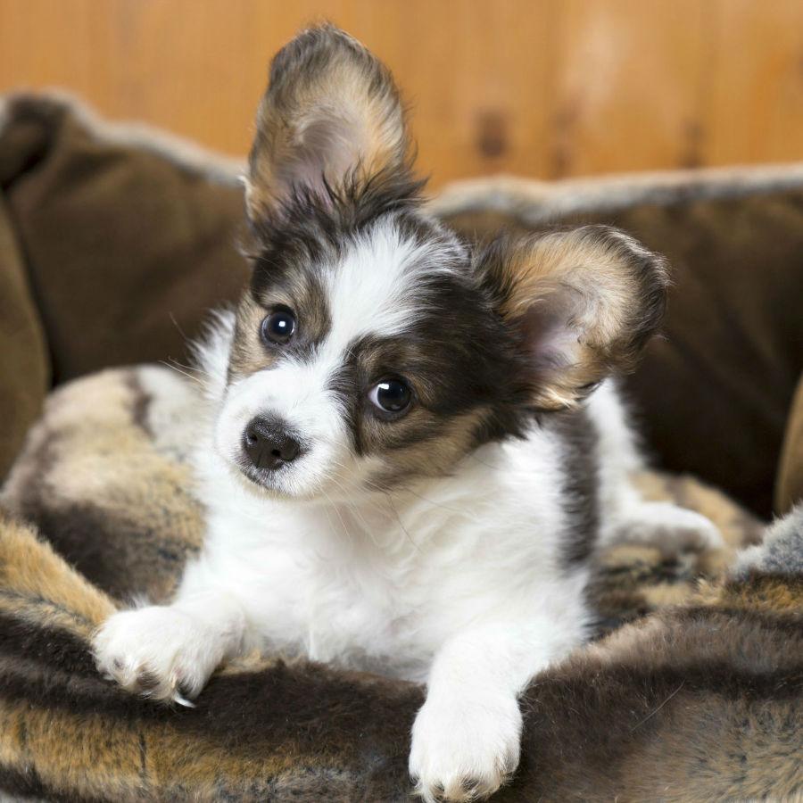 Cachorro pequeno: Papillon se aconchegando no sofá.