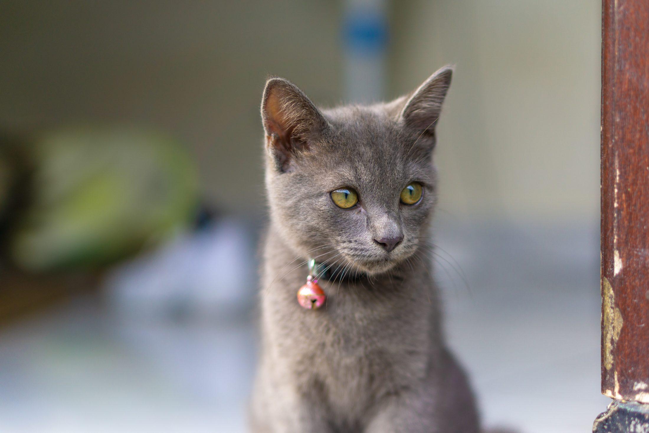 passear com gato de coleira